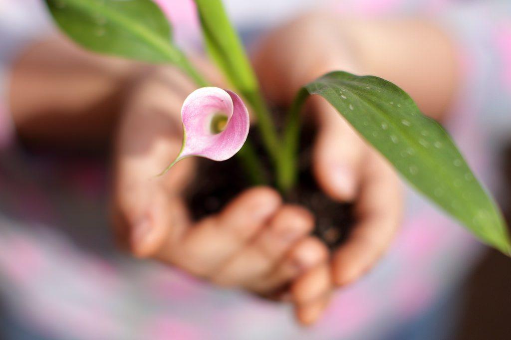 pink flower in hands