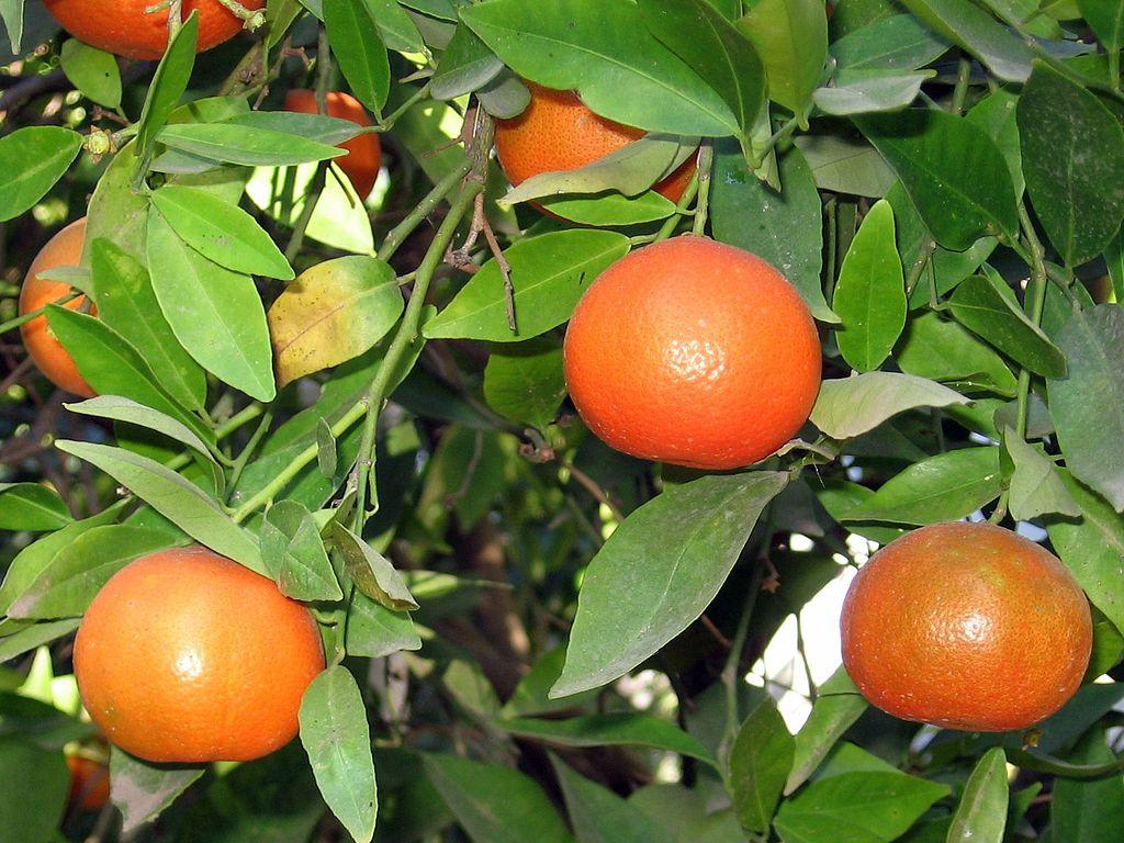 a clementine, a hybrid between a mandarin orange and a sweet orange, grown in Israel