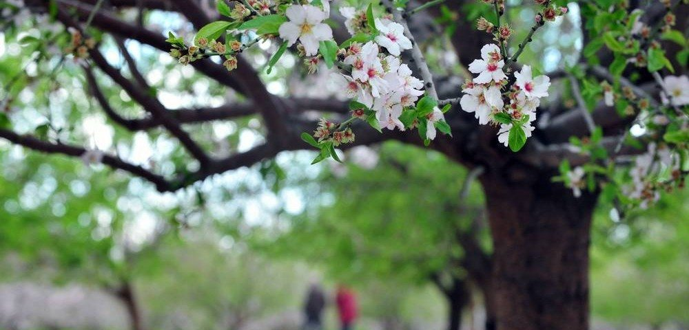 almond tree is the first to bud in the Israeli winter