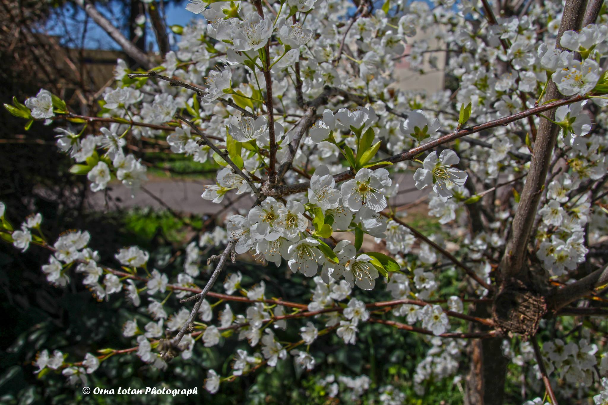 almond tree with beautiful flowers begins to blossom early in the winter in Israel