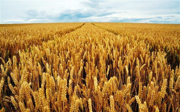 Israel's discovery can make wheat production faster and cheaper