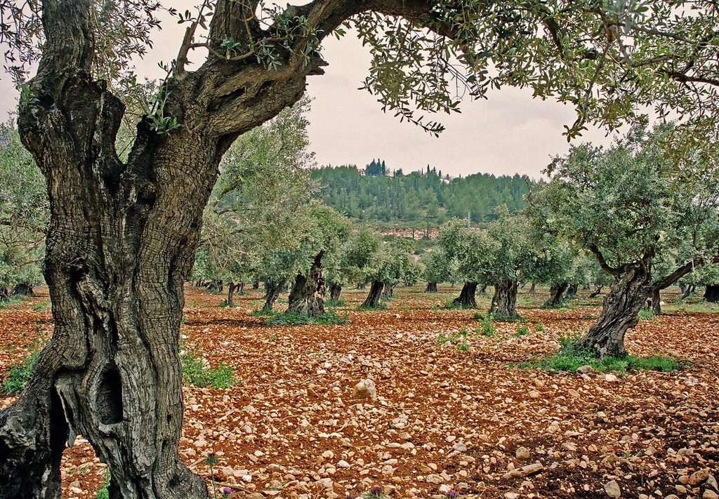 olive trees in Israel, part of the official seal of the state, symbolizing the olive oil used in the Temple