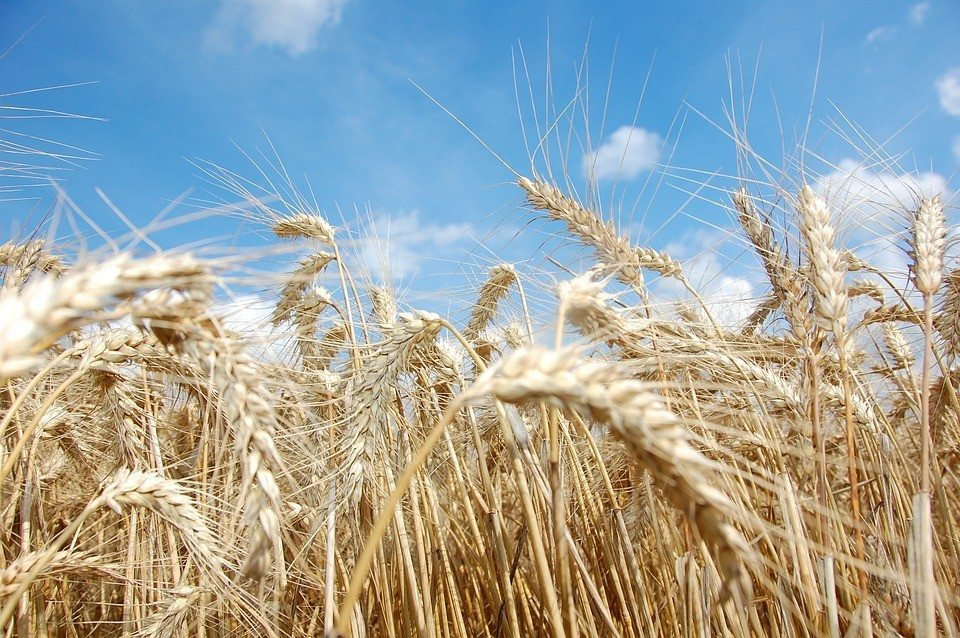 Israeli startup successfully maps genome of wild emmer wheat